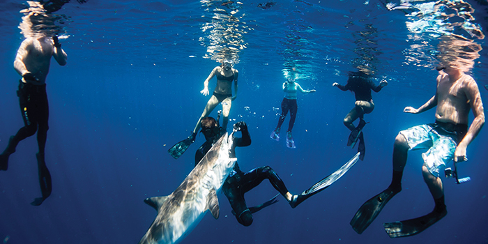 LEAVE THIS TO THE PROFESSIONALS Nimmo gives the group of free-divers what they came to see with a hand-to-mouth feeding  of a silky shark