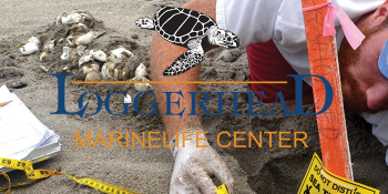 Tourists, residents and sea turtles flock to Palm Beach County beaches!