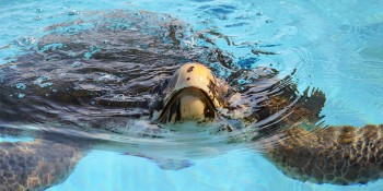 Sea Turtle Release Off Juno Beach Thursday Morning