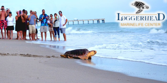 "Loggerhead Marinelife Center In Jupiter Is To Release ""Lilly"" the Sea Turtle"