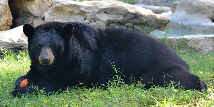 One Bear, Two Bear, Florida Black Bear