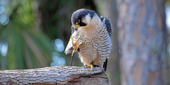 Okeeheelee Nature Center Announces Raptor Day for Nature Photographers