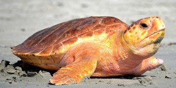 Sea Turtle Will Be Released From Loggerhead Marinelife Center in Juno Beach