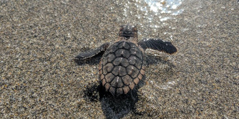 "Sea Turtle Nesting Season Returns to Palm Beach County with ""Respect the Locals"" Campaign"