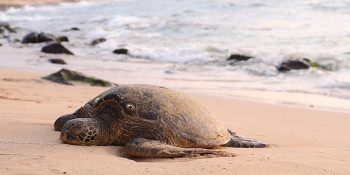 After Seven Months of world-class care, Howard the sea turtle will be released from The Sea Turtle Hospital at Loggerhead Marinelife Center